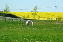 Wiese mit Pferden